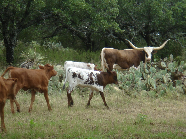 Lucy and the calves at Double LB Longhorn Ranch in Fredonia, TX