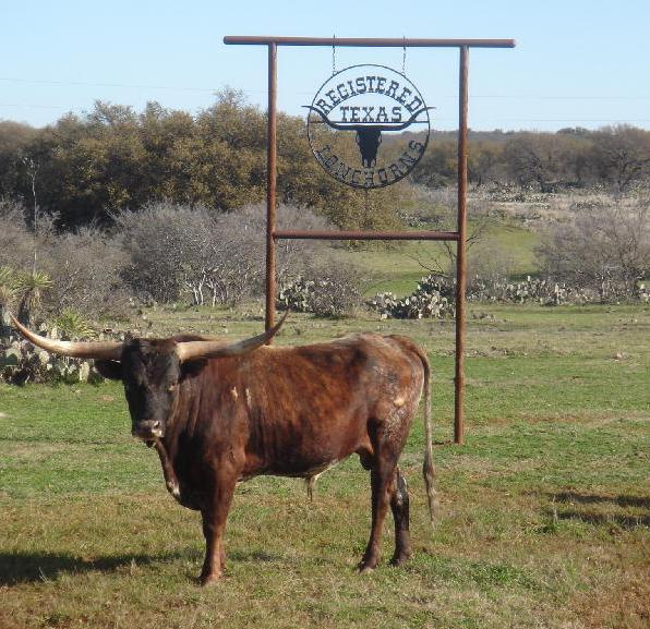 Max in the front pasture at Double LB Longhorn Ranch in Fredonia, TX