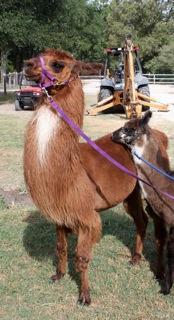 Llamas at Stotts Hideaway Ranch