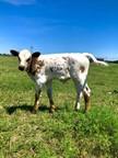GD HENRIETTA Bull Calf