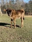 Unregistered Calf