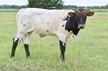 152 Unnamed Bull
