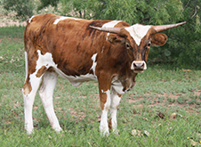 Lucky Lisa, a Longhorn heifer, standing in the field