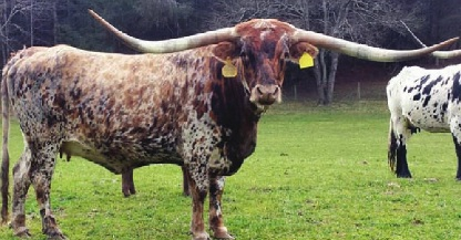 Texas Longhorns in Virginia at Leonard Farms